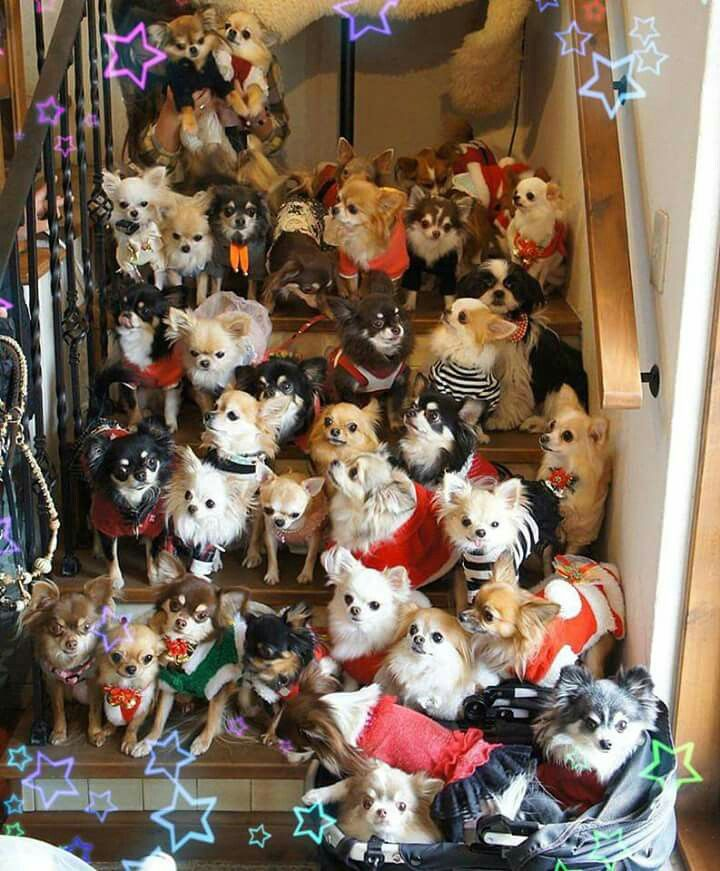 So many Chihuahuas!
