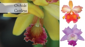 Native to the tropical Americas, cattleyas have some of the largest blooms of all the orchids and are often fragrant. Make for a beautiful living bouquet. http://www.aboutthegarden.com.au/index.php/four-autumn-orchid-flowers/