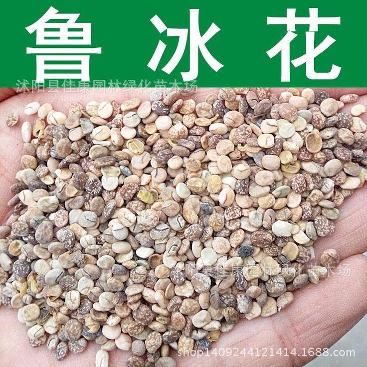 Flower seeds freshly collected authentic view of lupine seed lupine seed germination rate pattern real locations 200g / Pack
