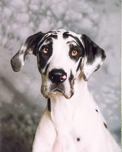 Donald and I both want a Great Dane...we want a black and white one (to match our cats ;) ) and we want to name him Seamus