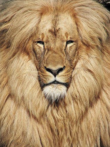 Parece um velho sábio e poderoso. Katanga ou Sudoeste Africano leão (Panthera leo bleyenberghi) é encontrado na Namíbia, Botswana, Zimbabwe, Zâmbia, Angola eo Dem. República do Congo. Foto tirada no zoológico Usti nad Labem - Ustecky, República Checa. -kc