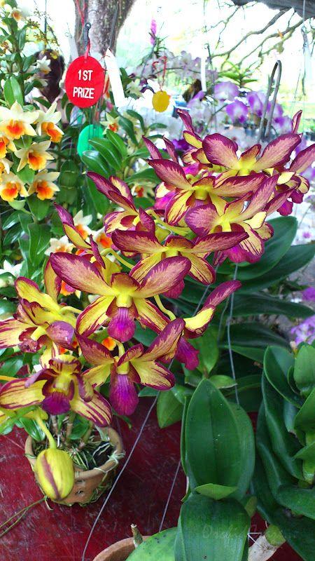 Dendrobium Burana Delight | Dendrobium (Promote Pink x Burana Jade)