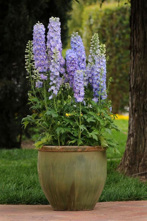 Delphiniums. #shadecontainergardeningideas