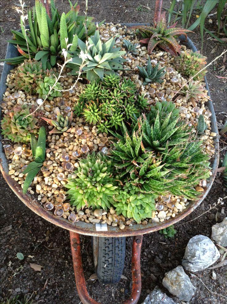 Wheelbarrow with mixed planting of gasterias and haworthias.