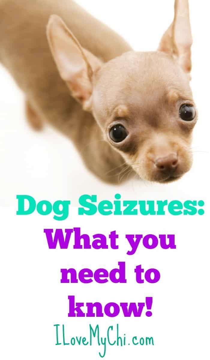 Dog Seizures What You Need To Know Chihuahua Dog Seizures