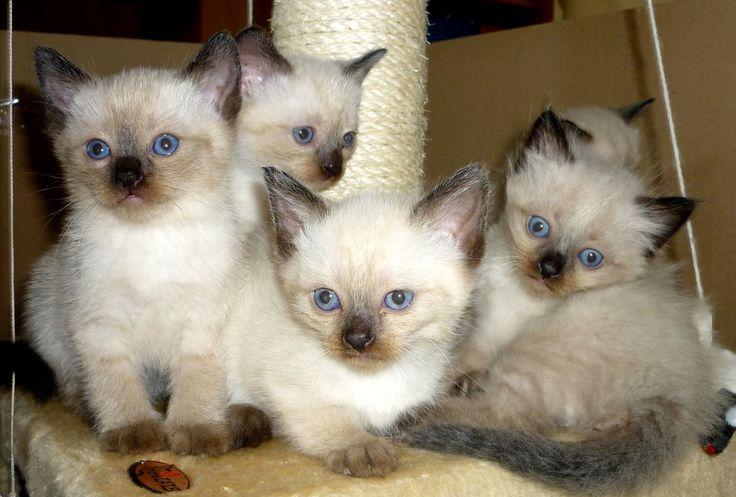 katzenbabys   Katzenbabys Siam Thai Perser Mix in Lübbecke   Tiere   Kleinanzeigen