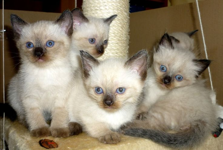 katzenbabys | Katzenbabys Siam Thai Perser Mix in Lübbecke | Tiere | Kleinanzeigen