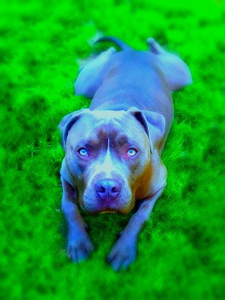 Brutus my blue pitbull <3