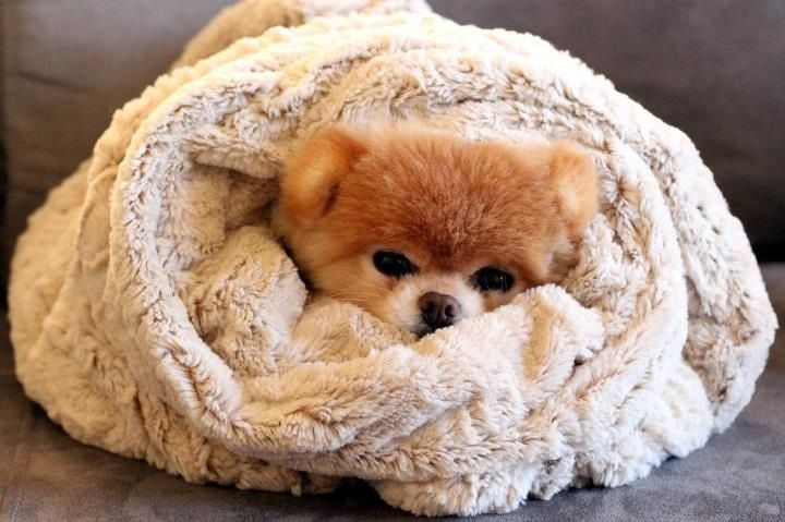Boo the world's cutest dog wrapped up as a burrito for the day :) #boo #boothecutestdog #puppies