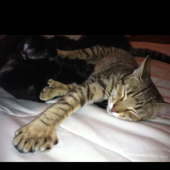 387 best images about Hemingway cats/Polydactyls on ...  387 best images...
