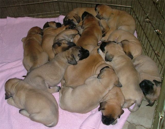 Midwest Mastiffs. Old English Mastiff Breeders puppies dogs