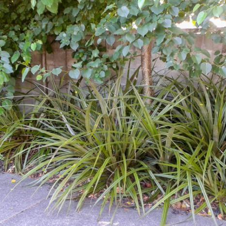 Bush Lily - Astelia fragrans