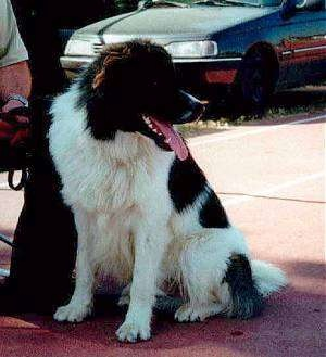 Hellenikos Poimenikos  (Greek Sheepdog) (Greek Shepherd)