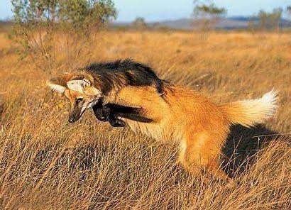 Aguará guazú, el elegante lobo colorado que confundieron con el lobizón  Estas fotografías son del cánido de la especie Chrysocyon brachyurus, conocido comúnmente como aguará guazú, que en guaraní significa zorro grande.
