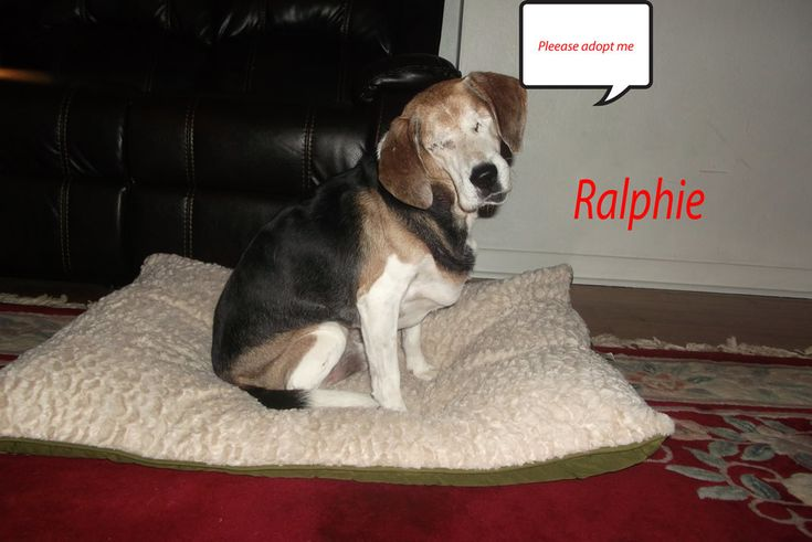 5/16/18 VA. Ralphie is an adoptable 5 yr. old male Beagle searching for a forever family at Rainbow Animal Rescue, Norfolk, VA. Ralphie is blind.