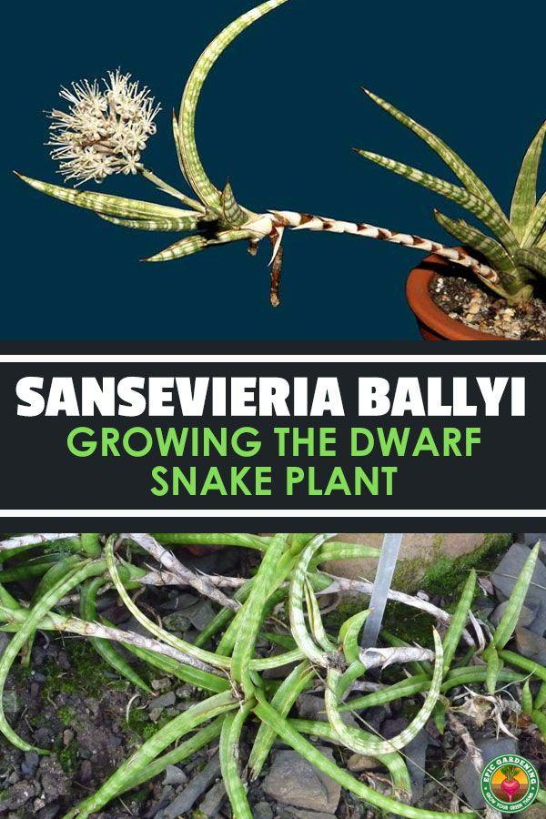 Sansevieria Ballyi Growing Dwarf Sansevierias Snake Plant Plants Sansevieria