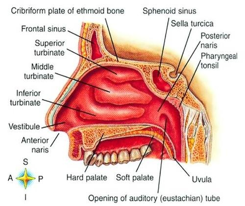 BaileyBio.com: Anatomy & Physiology » 11.Powerpoint - Respiratory System » nose_2.jpg