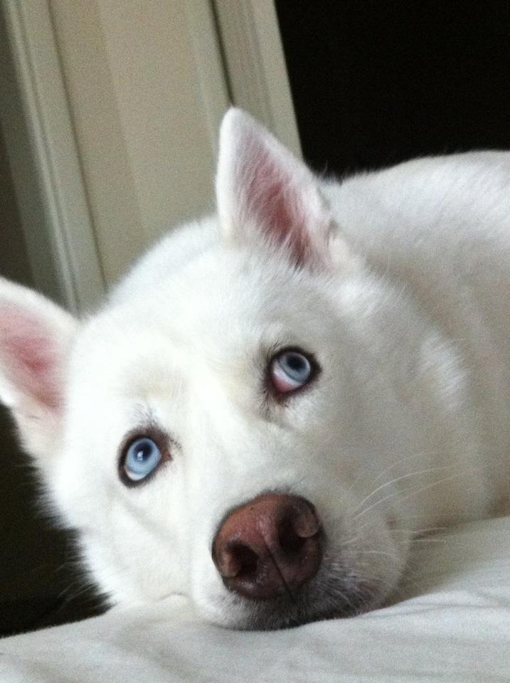 Sweet,  white Siberian Husky with big, blue eyes! ♥