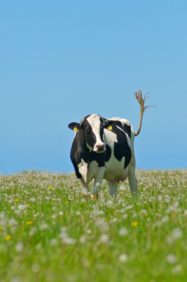 Photographer Pernille Westh | Danish black and white cow · Get my 7 FREE basic photography tips - you need to know! http://pw5383.wixsite.com/free-photo-tips