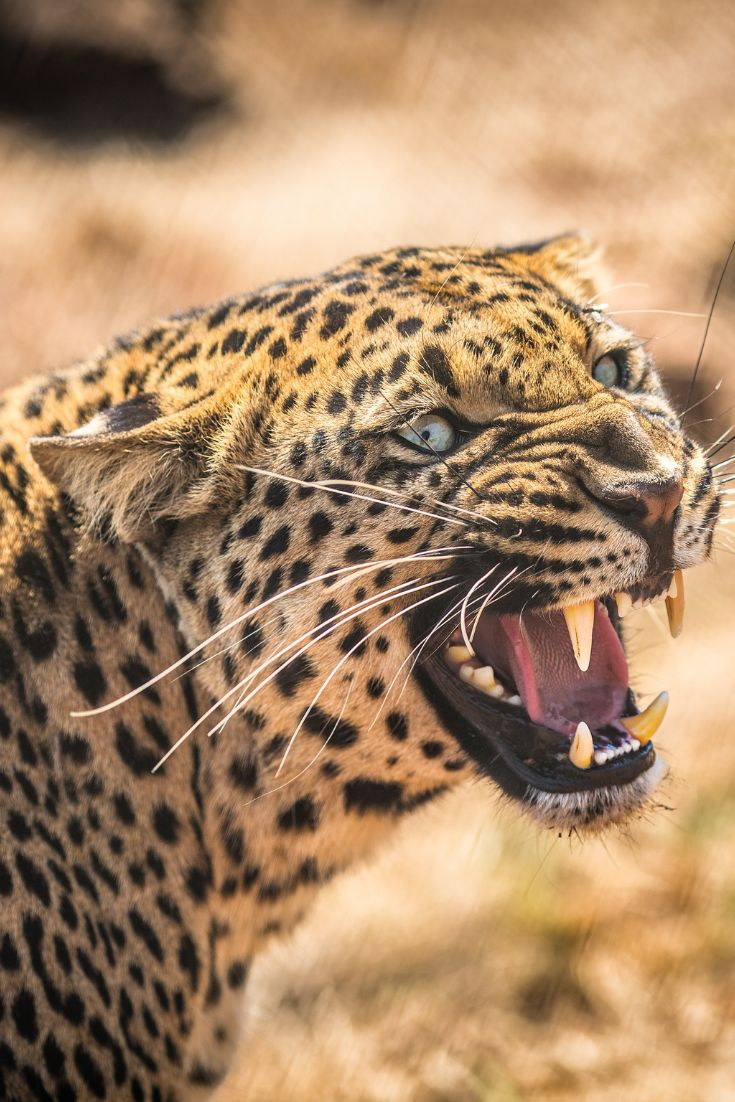 What Sound Does a Leopard Make? Learn the Leopard