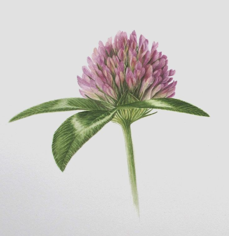 how to grow red clover herb
