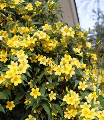 Yellow Jasmine Vine - Jasminium Floridum for Sale - Brighter Blooms Nursery