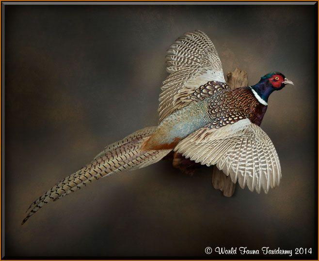 pheasant taxidermy - Google Search