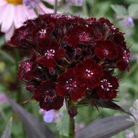 Spektakulär sort. Doftande, svartröda blommor, mörktgrönsvart bladverk. Utmä...