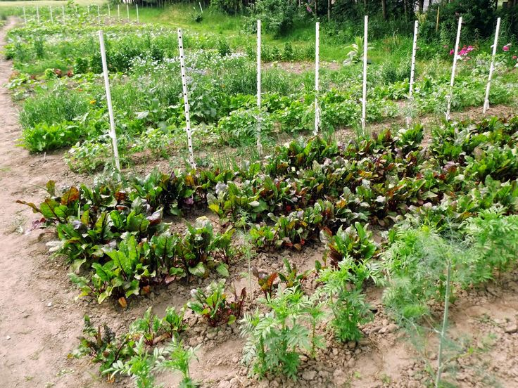 allelopatia, uprawa współrzędna roślin