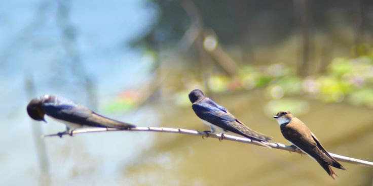Odd one out - Barn swallows and a sand martin.