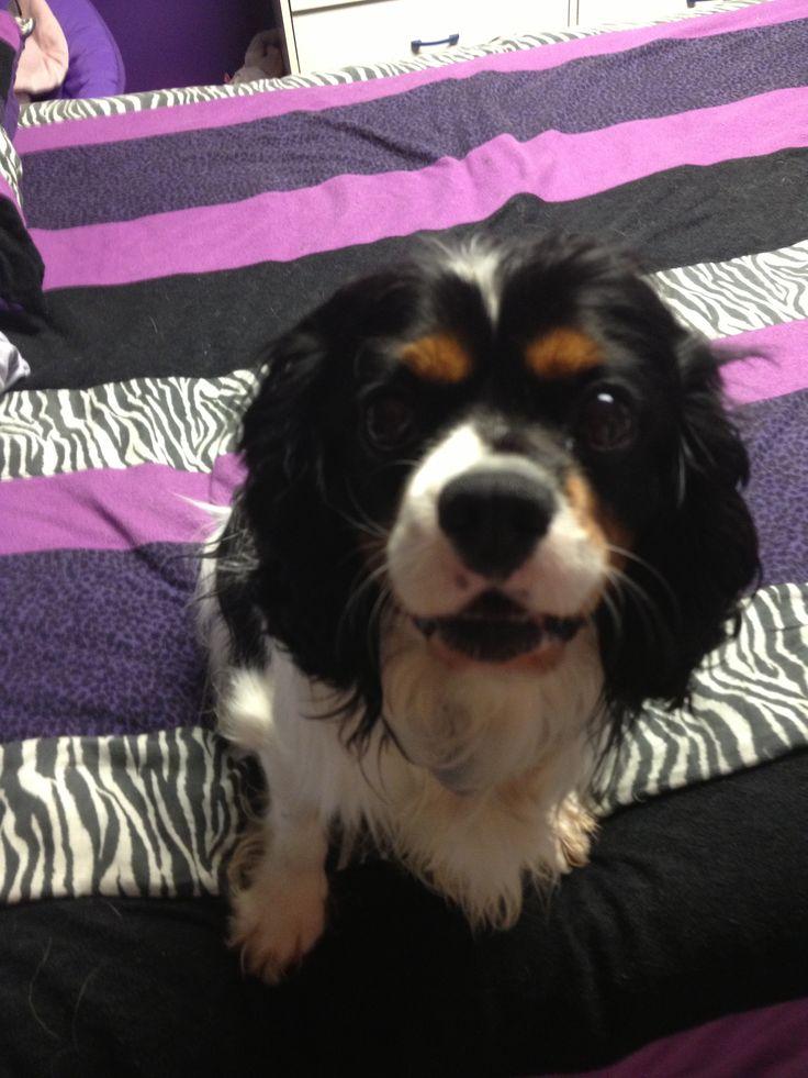 Meet Tut! He is a cavalier King Charles spaniel.