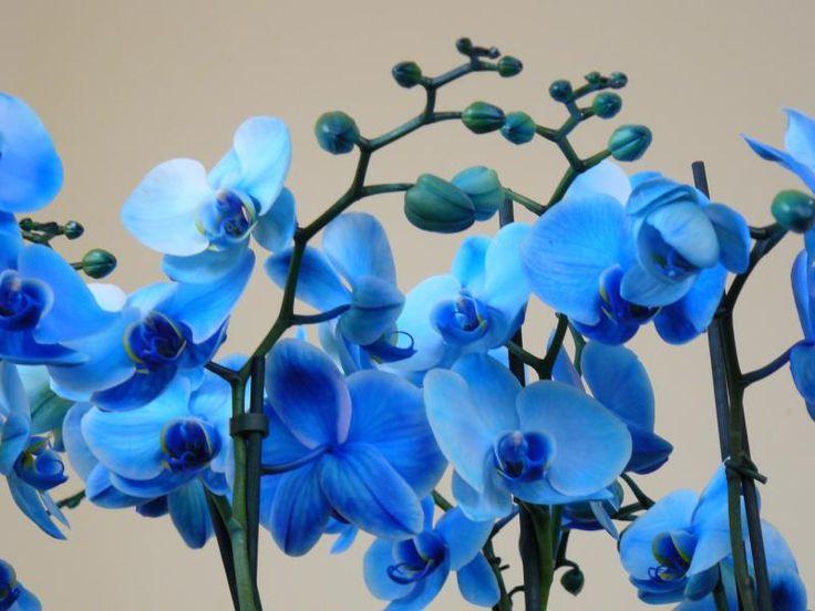 orchidea + kék :)