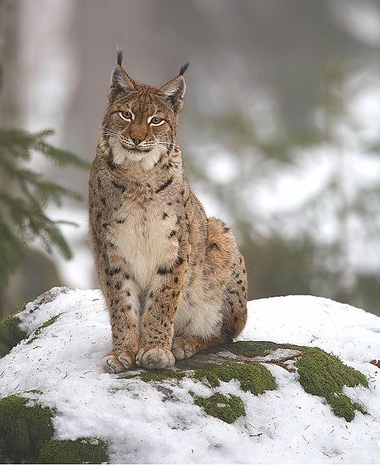 Euraziatische lynx in het Nationaal Park Bayerischer Wald.