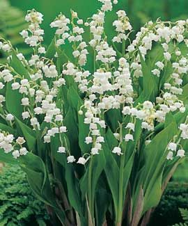 Lily-of-the-valley, my other favourite shade perennial!
