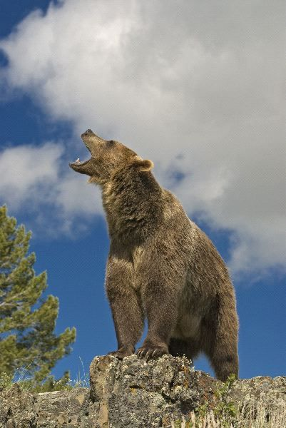 Grizzly Bear Roaring                                                                                                                                                                                 Mais