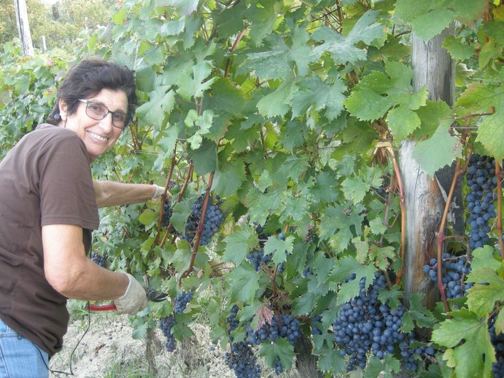 Grapes Harvest in Tacchino Raffaele Wineyards in Piedmont - my mother 2