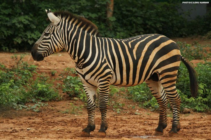 #Zebra; 1. They are equids, members of the horse family. There are 3 different species- the plains zebra, Grevy's zebra & mountain zebra, all 3 species are native to Africa.2. Different zebras have different habitats. 3. Zebras are social animals and live together in herds. 4. Plains zebras have at least 6 different vocal calls. A two-syllable call is used to alert herd members to predators while snorts indicate happiness.