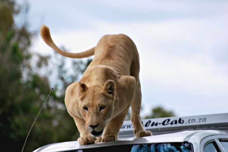 photographing lions