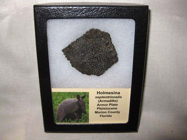 Holmesina septentrionalis Armadillo Scute #8  Product Description Holmesina septentrionalis Giant Armadillo Scute/Armor Plate Pleistocene Marion County, Florida Specimen measures approx.  1 13/16″ wide and will come in the 3.25″ x 4.25″ Riker Mount as Shown