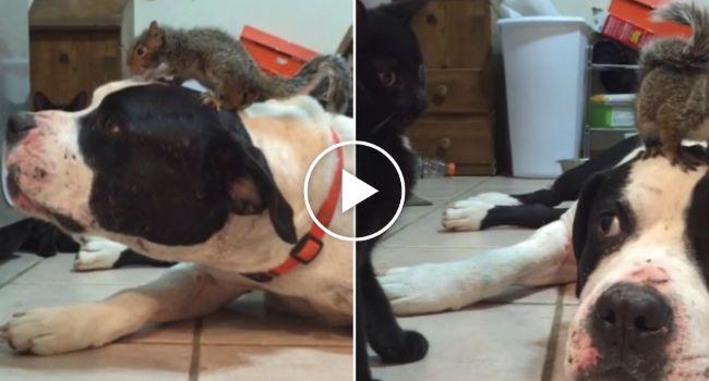 Inteligente Esquilo Sabe Que Com Este Cão Ele Está Sempre Protegido