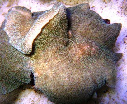 Mushroom Coral - Elephant Ear  http://www.saltwaterfish.com/product-mushroom-coral-elephant-ear