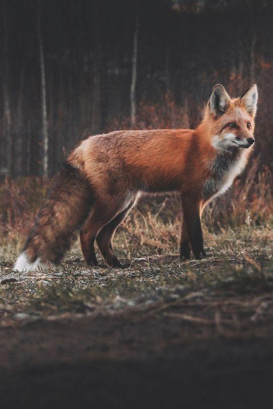 Red Fox by joelymm - Joel Matuszczak