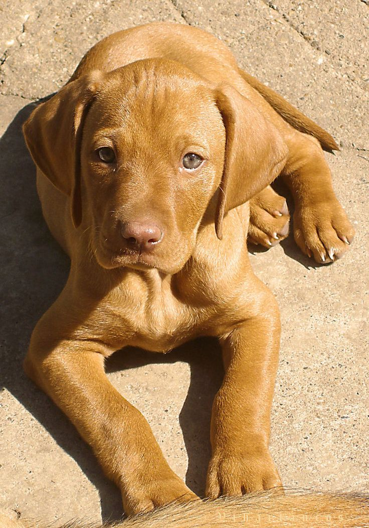 Vizsla puppy..my baby girl, Halieh, was as cute as this one.