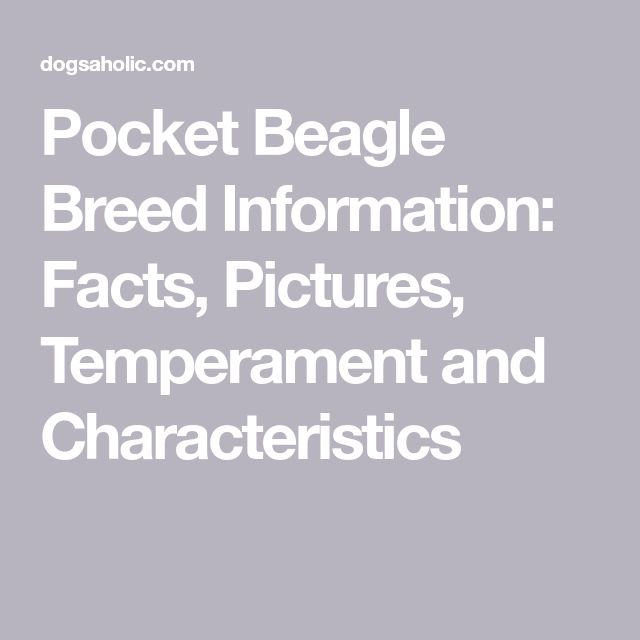 Pocket Beagle Breed Information: Facts, Pictures, Temperament and Characteristics
