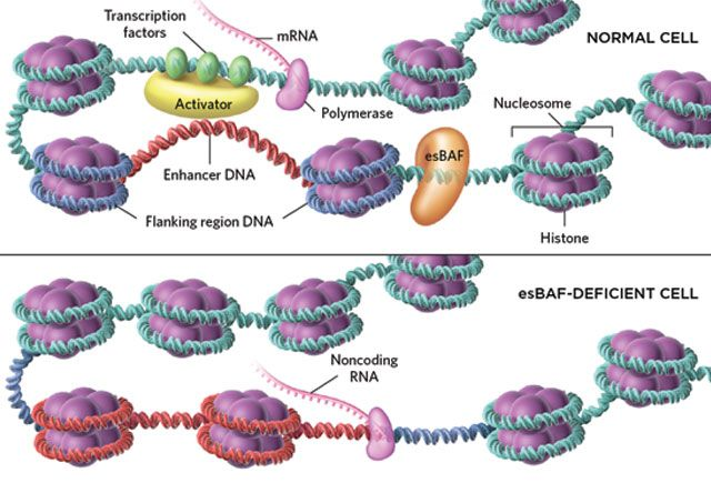 Silencing Surprise— A chromatin remodeler in embryonic stem cells clears the DNA for mRNA transcription while stifling the expression of noncoding transcripts.