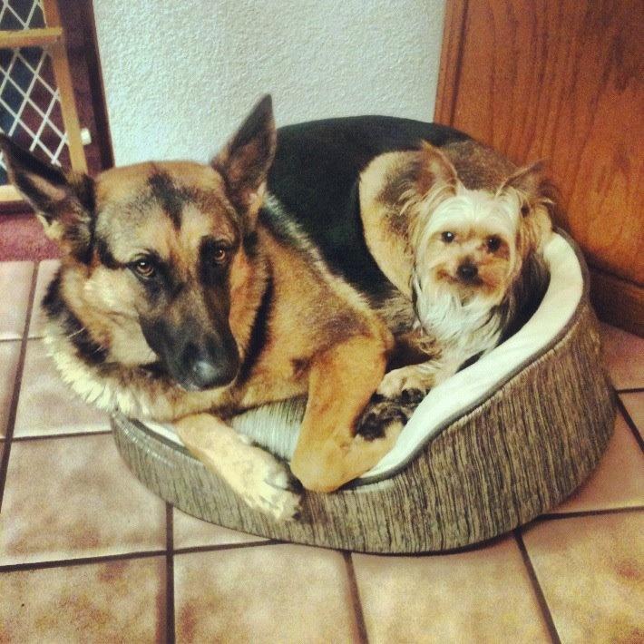 German Shepherd Yorkie Mix Puppies My babies. leia the german shepherd ...