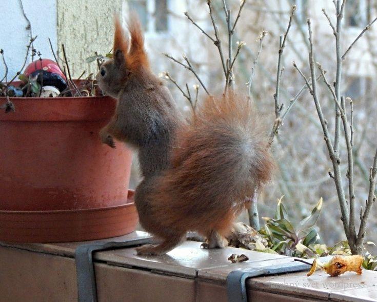DSCN9509ve  #veverička #squirrel