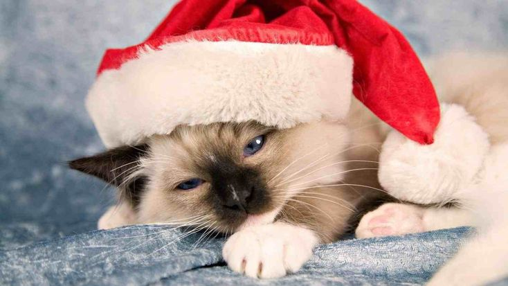 New Submit Cute Christmas Cat Wallpaper Hd Wallpapers 10000
