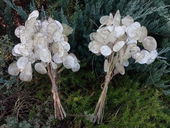 11″ 10 Branches Lunaria Biennis, Money Plant, dried Silver Dollar Plant, Lunaria… – Products