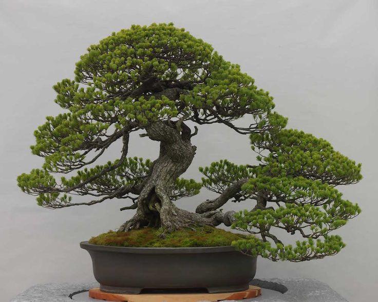 die besten 25 bonsai baum ideen auf pinterest bonsai. Black Bedroom Furniture Sets. Home Design Ideas
